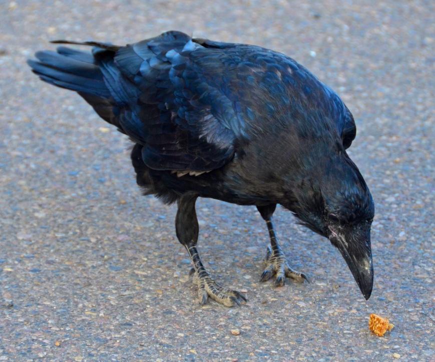 Old man raven
